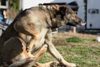 Allergic Skin Disease in Dogs: Tackling the Itch