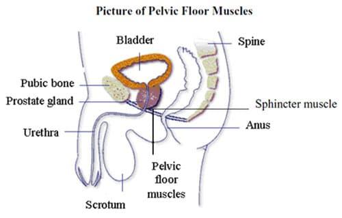 Photo Credit: Pelvic floor muscles, courtesy of UCLA Health Urology